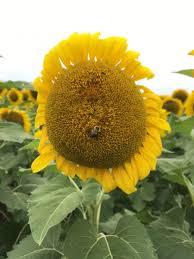 exploring the secret neuse river sunflower fields in raleigh