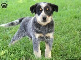 australian shepherd queensland heeler mix pictures blue heeler dog funny puppy u0026 dog pictures