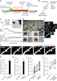 structural plasticity within the barrel cortex during initial