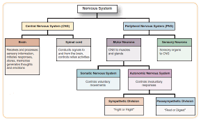 nervous system concept map what is the function of the sensory division of the peripheral
