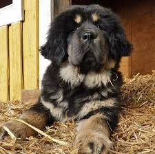 australian shepherd x rottweiler 12 unreal rottweiler cross breeds you have to see to believe