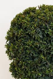 buy eugenia topiary tree 1 ball at root 98 warehouse for only