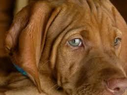 american eskimo dog for sale in kansas vizsla puppies in kansas