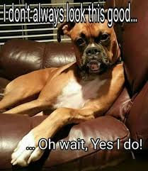 boxer dog meme 106 best just boxers images on pinterest boxer love boxers and