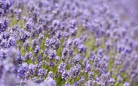 Most Fragrant Lavender Plant - lovely lavender 10 of the top varieties to grow telegraph