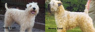 affenpinscher coat type 7 things you didn u0027t know about the wheaten terrier u2013 iheartdogs com