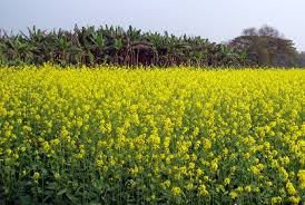 12 medicinal benefits of indian mustard