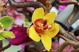 yellow orchid flower in purple vase on the tree stock photo