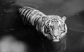 wallpaper black tiger hd 234 white tiger hd wallpapers background images wallpaper abyss