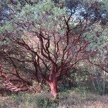 native plants in california lost coast interpretive association uncategorized archives lost