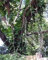 should we never plant a vine tbo com