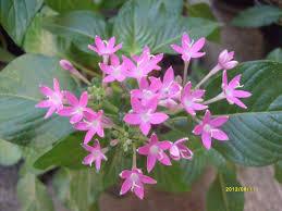 merak putih pentas laceolata red exotic plants in indonesia