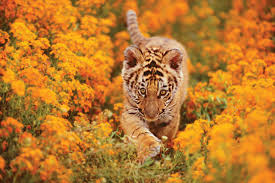 international tiger day 2016 17 tiger cubs that are ferocious