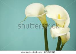 Calla Lily Flower Calla Lily Stock Images Royalty Free Images U0026 Vectors Shutterstock