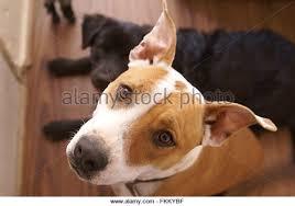 american pitbull terrier mix american pitbull terrier stock photos u0026 american pitbull terrier