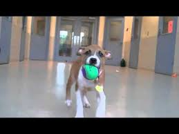 american pit bull terrier website american pit bull terrier mix puppies available for adoption at