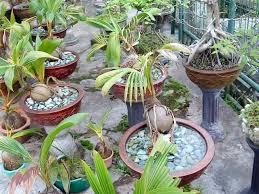 coco bonsai on the rock palmtalk
