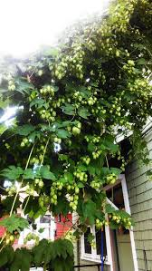 74 best growing hops images on pinterest homebrewing beer and