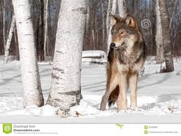 grey wolf canis lupus stands in treeline with birch tree stock