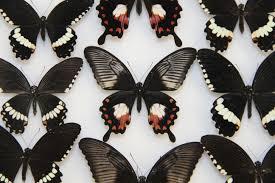 single gene doublesex controls wing mimicry in butterflies