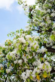bloom alert the white confetti of the evergreen pear tree