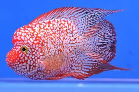 national ornamental fish day 1 9th oct thailand bkk