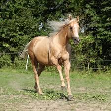 Nice Hourse Nice Palomino Horse With Long Blond Mane Running U2014 Stock Photo