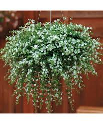 12 Best Annual Flowers For by Bacopa U0027snowtopia U0027 12 18