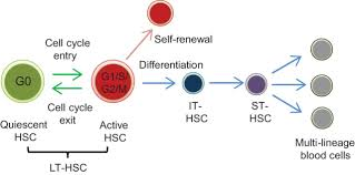 the analysis roles and regulation of quiescence in hematopoietic