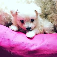 bichon frise 4 months old pomeranian cross bichon frise puppy for sale in worcester