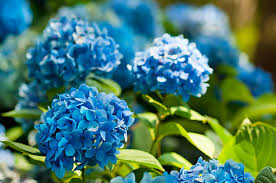 Hydrangea Flowers Hydrangea Pictures Images And Stock Photos Istock