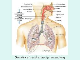 Human Anatomy Respiratory System The Respiratory System Ppt Video Online Download