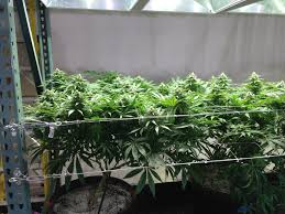 trellising the cannabis grow