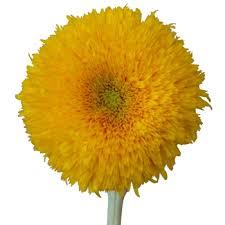 teddy sunflowers bulk sunflowers