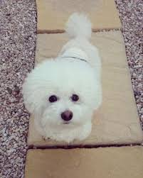 bichon frise instagram see this instagram photo by bichon tori u2022 8 652 likes bichon