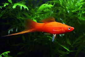 Buy Ornamental Fish Swordtails Fish Information Aquatic Mag