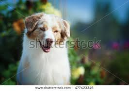 images of australian shepherd australian shepard stock images royalty free images u0026 vectors