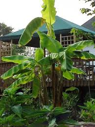 bananas on tree growing a banana tree in a pond