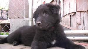 belgian sheepdog groenendael belgian sheepdog puppies youtube