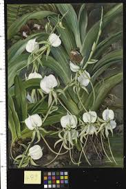 native plants of africa angraecum bory plants of the world online kew science