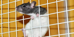 Best Bedding For Rats Controlling Bad Rat Smells All Our Paws
