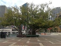 First Fleet Park U0026 Circular Quay West Significant Trees