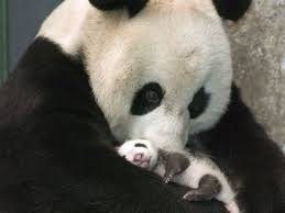 Panda Meme Mascara - simple 8 best our ideal petting zoo images on pinterest wallpaper