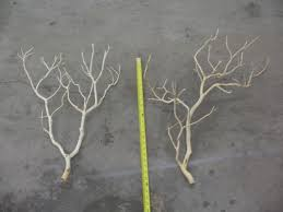 manzanita branches for sale sandblasted manzanita branches