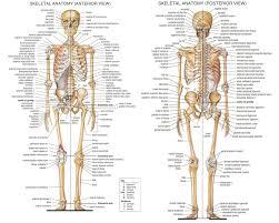 3d Human Anatomy 3d Human Body List Of Bones Human Anatomy Chart