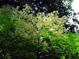 native plants in florida aralia elata japanese angelica tree the sanguine root