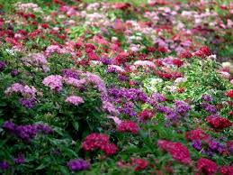 pentas flower does pentas plants medicinal values owlcation
