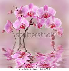 pink orchids pink orchids flowers background design stock photo 261107615