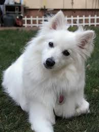 american eskimo dog for sale ontario chloe 10mo old american eskimo mini american eskimo dog
