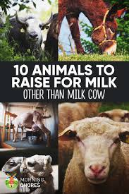 10 highly productive animals to raise for dairy other than milk cow